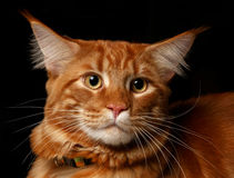 Close-up red Maine Coon. Male Maine Coon cat ginger tabby on black background Stock Images