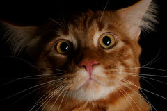 Close-up red Maine Coon. Male Maine Coon cat ginger tabby on black background Stock Image