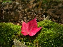 Close-up of red maple autumn leaf on ground moss in forest. Close-up of red maple autumn leaf on ground moss in Minnesota forest stock photo