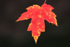 Close up of red maple leaf Stock Photos