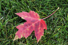 Close up of red maple leaf Royalty Free Stock Photography