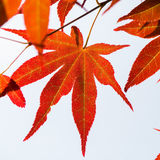 Close up Red maple leaf Royalty Free Stock Images