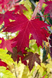 Close Up of Red Maple Leaves Stock Photo