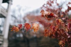 Close up red maple leaves and branch with rain water drops. royalty free stock image