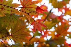Close up of Red maple leaves in branch of trees with bokeh during Japan Autumn stock photography