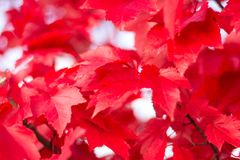 Close up red maple leaves royalty free stock images