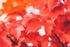 Close up red maple leaves royalty free stock photo