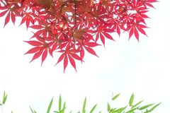 Red maple leaves. The close-up of red maple leaves. Scientific name: Acer palmatum royalty free stock photo