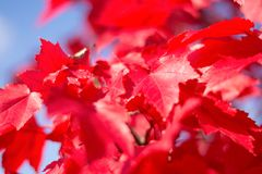 Close up red maple leaves stock photos