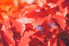 Close up red maple leaves stock photo