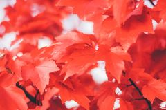 Close up red maple leaves. Selective focus royalty free stock photos