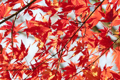 Close up of red maple tree foliage stock photo