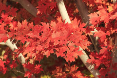 Close up of red maple tree Stock Photo