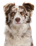 Close-up of Red Merle Border Collie. 6 months old, in front of white background stock images
