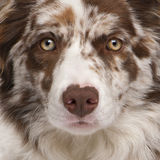 Close-up of Red Merle Border Collie. 6 months old royalty free stock photos