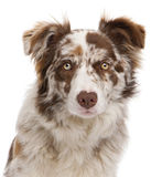 Close-up of Red Merle Border Collie. 6 months old, in front of white background royalty free stock images