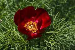 Close up of a red mountain peonies (Paeonia tenuifolia) Royalty Free Stock Photo