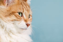 Close-up of a red Norwegian forest cat. Stock Image