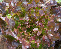 Close up of red oak leafs Royalty Free Stock Photography