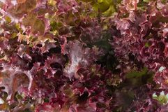 Close Up of Red Oak Leaves Lettuce Background Royalty Free Stock Image
