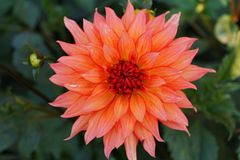 Close-up of a red-orange flower of the Caucasian globular dahlia. Close-up of a red and orange flower of the Caucasian globular dahlia Dahlia with green leaves stock photography