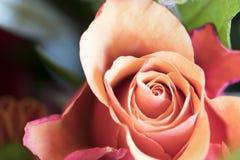 Close up red orange rose royalty free stock photos