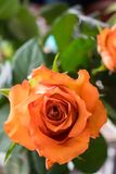 A close up of a rose with open space to the left stock image