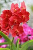 Close up of red orchid Stock Photo