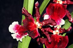 Close up of red  orchid flower. Royalty Free Stock Image