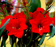 Close-up of red orchids. Two red orchids in posy Royalty Free Stock Photo