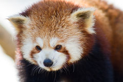 Close up of a Red Panda Royalty Free Stock Image