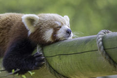 Close up of a red panda sleeping. Exhausted cute animal. Shown zonked out on a log Royalty Free Stock Photo