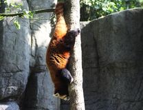 Red panda, Ailurus fulgens royalty free stock image