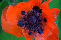 Close-up of of red papaver rhoeas red poppy flower on the summer field. Macro photography of nature in cottage garden in Utah. U. SA. United States Stock Images
