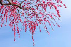 Red peach blossom Royalty Free Stock Photo