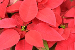 Close up of red poinsettia flowers. For backgrounds or textures royalty free stock photography