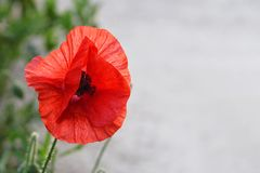 Red poppy. Close up of red poppy royalty free stock photos