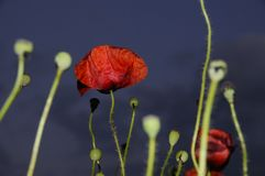 Close up of red poppy. (Papaveraceae)  with cloudy sky background Royalty Free Stock Images