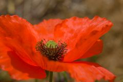 Close-up of a Red Poppy. stock photos