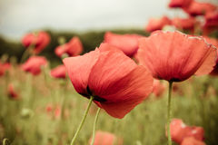 Close up of red poppy flowers in spring field Royalty Free Stock Images