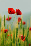 Close-up of red poppy flowers Stock Photos