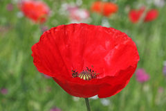 Close up of red poppy Stock Image