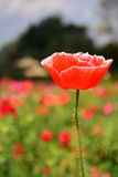 Close up red poppy shirley flower. Royalty Free Stock Photo