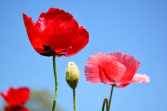 Close up red poppy shirley flower and blue sky background. Stock Images