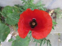 Close-up of a red poppy in the streets of Amsterdam stock photography