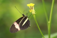 Close up of a red postman tropical butterfly Heliconius erato Royalty Free Stock Photography