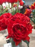 Close up of red princess tulips in vase. Close up of double red princess tulips in vase in flower shop Stock Photos