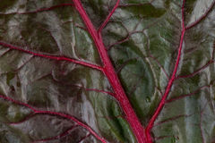 Close Up of Red Rainbow Chard Leaf Fills Frame Royalty Free Stock Photo