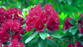 Close-up of a red rhododendron in the garden. Stock Image