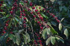Close up of red ripe coffee on plant, Kwanza Sul royalty free stock images